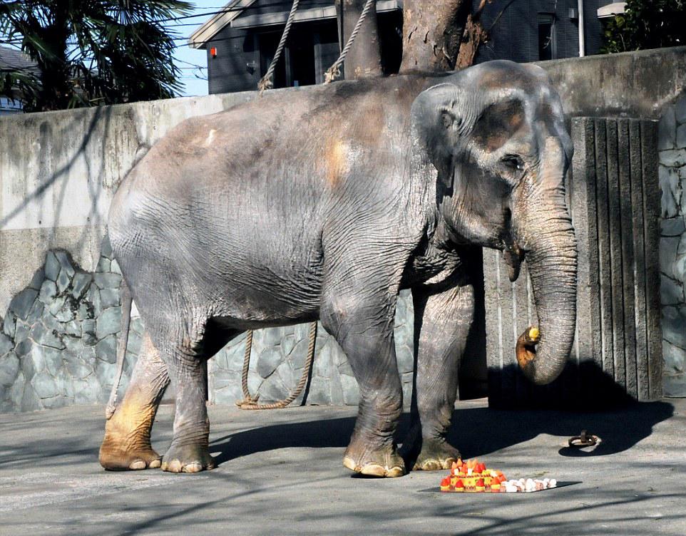 世界上最孤独的大象:日本动物园中独居66年(组图)