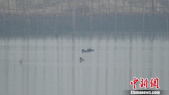 濒危候鸟青头潜鸭现身湖北长湖湿地自然保护区 钟欣 摄