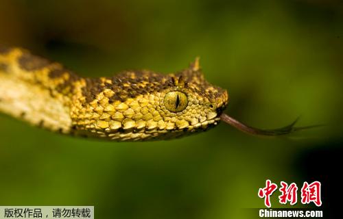 材料图片:非洲坦桑僧亚的森林中一种体色特别的新种类毒蛇。