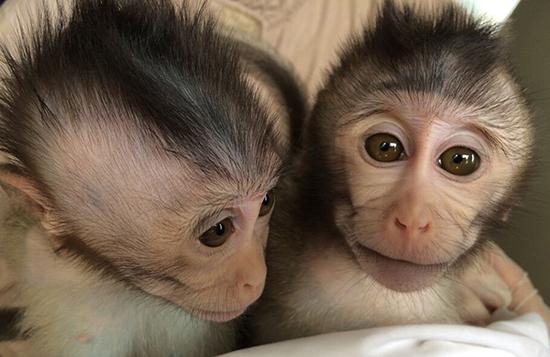 猴子是什么原因_美媒:中国科学家培育出转基因猴子 助治疗自闭症