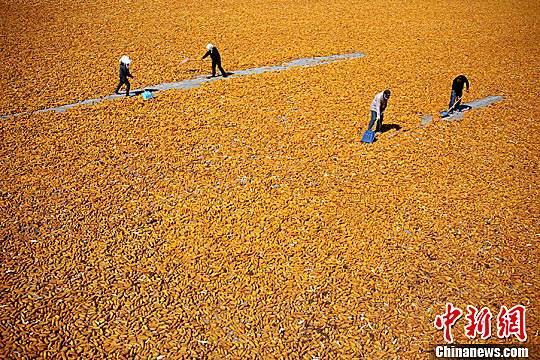 资料图:2015年9月,甘肃张掖市临泽县26.5万亩制种玉米进入收获期,金黄色成为当地田间地头的主色调。赵琳 摄