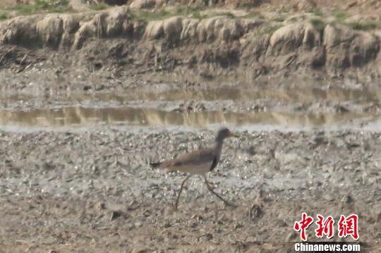 鄱阳湖保护区大汊湖保护管理站日前迎来2只灰头麦鸡,这是该保护区今年发现的首批夏候鸟。 刘观华 摄