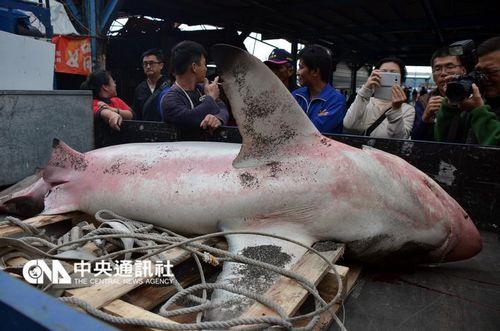 台冲浪海域现凶猛公牛鲨 两钓客与其搏斗1小时胜出
