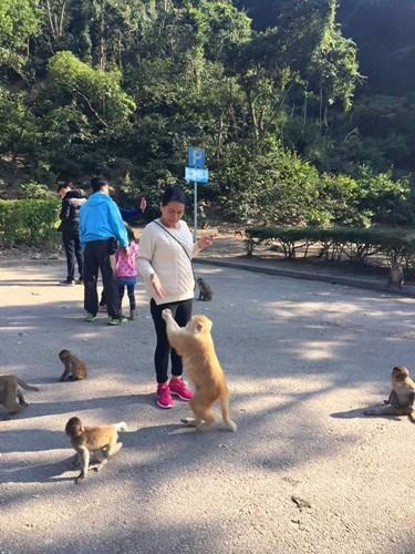 每逢假日大批市民会到金山郊野公园停车场观赏马骝。图自香港《大公报》