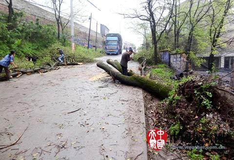 湖南遭强对流大树被连根拔起 5日起迎强降水
