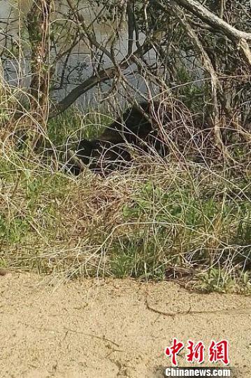 黑龙江饶河县境内突现黑熊 群众紧急疏散 姚海斌 摄