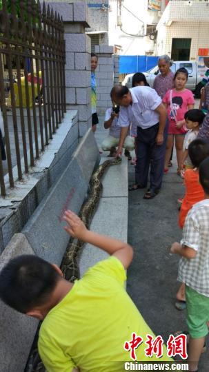 蟒蛇施南王引起小区居民围观 林士杰 摄