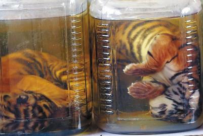 6月1日,从庙里搜出的被装在罐子里的幼虎尸体