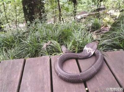 紫金山发现眼镜蛇
