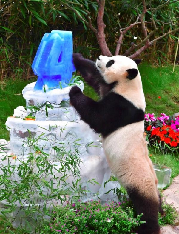 """当日,动物园为旅韩大熊猫""""爱宝""""和""""乐宝""""庆祝生日."""