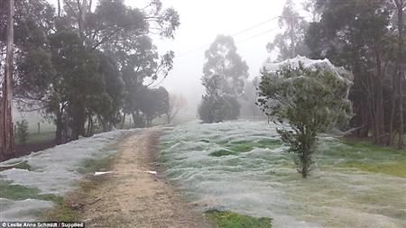 """澳大利亚洪水后 百万蜘蛛""""从天而降"""""""
