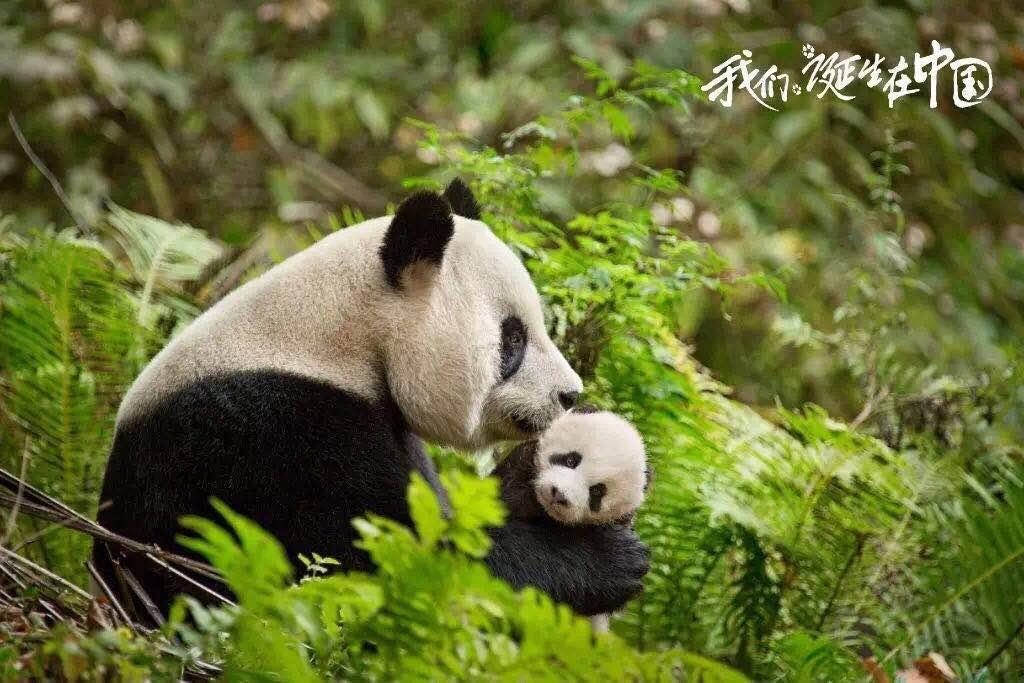 把大熊猫搬上银幕 迪士尼联手SMG登陆暑期电影市场