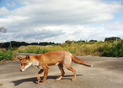 日本福岛核事故疏散区野生动物大量增加 不利居民返乡