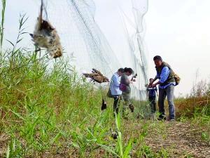 志愿者在拆除鸟网 图片来源于志愿者