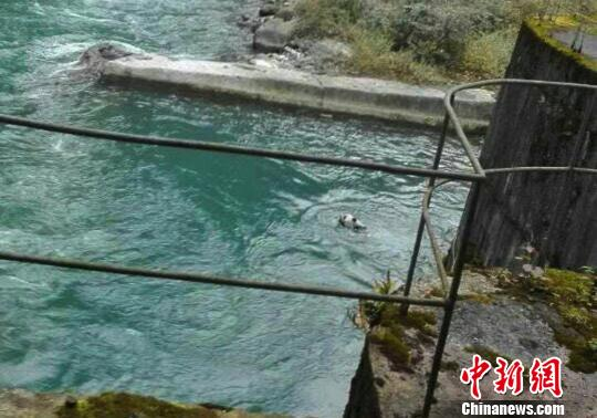 大熊猫落水。(手机拍摄) 钟欣 摄