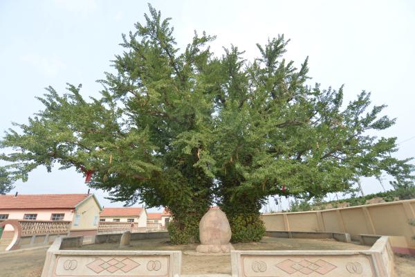 胶州市在尊重历史的基础上,在原址重建了太平寺一庙,目前正在紧锣密鼓
