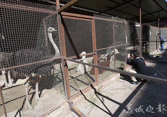 """昆明闹市现""""山寨动物园"""":有鸵鸟羊驼梅花鹿"""