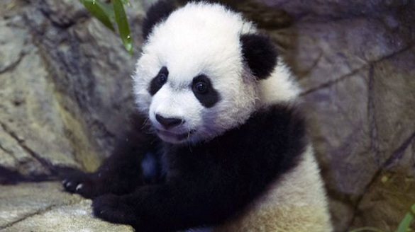 旅美大熊猫遭一团竹子堵住肠道 被送上手术台