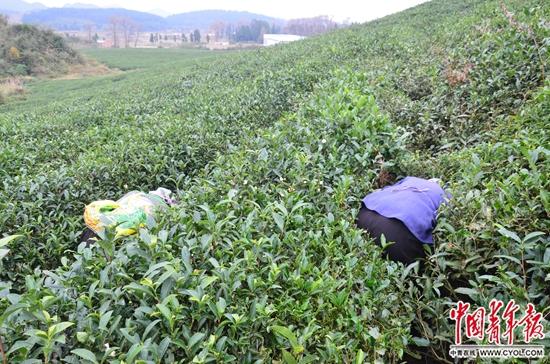 """""""童工""""杨某朋65岁的老奶奶在茶树丛间寻找和挖掘虫草。中国青年报・中青在线记者 田文生/摄"""