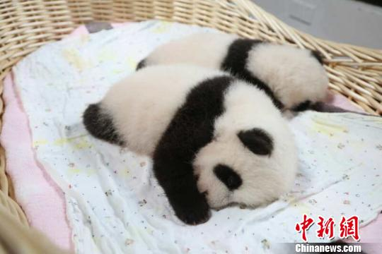 """中国大熊猫保护研究中心上海基地的首对大熊猫龙凤胎4日""""双满月""""。它们将从今天起分时段轮流和游客见面。 倪丽 摄"""