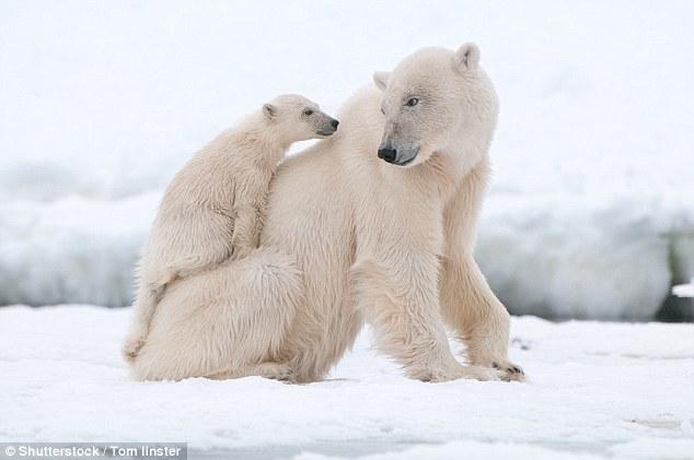 调查:冰川融化将令北极熊数量下降三分之一