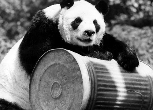 熊猫不再是濒危动物 wwf是不是该把经典logo改成北极