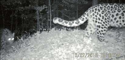 东北豹从摄像机前走过