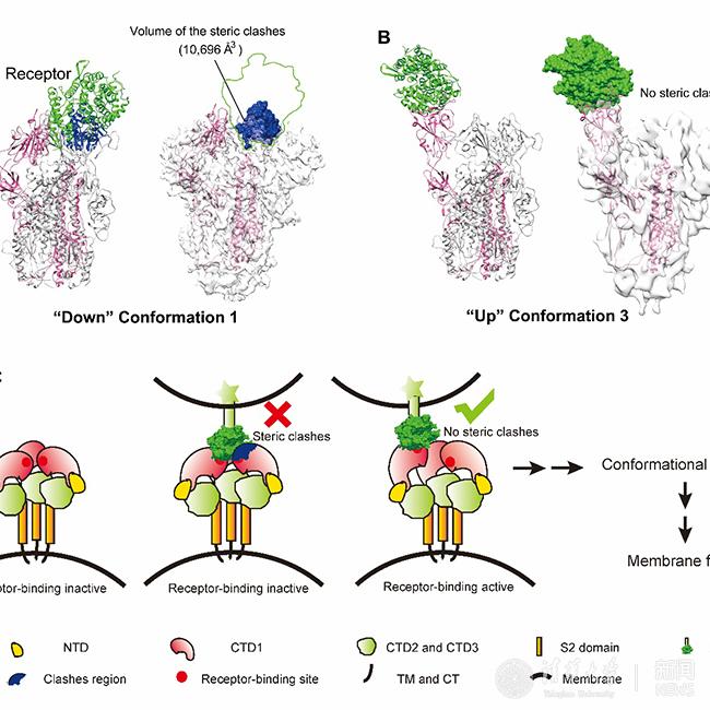 清华王新泉、向烨研究组发文揭示冠状病毒入侵宿主细胞关键步骤