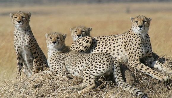 陆地上跑得最快的动物正在奔向灭绝吗?