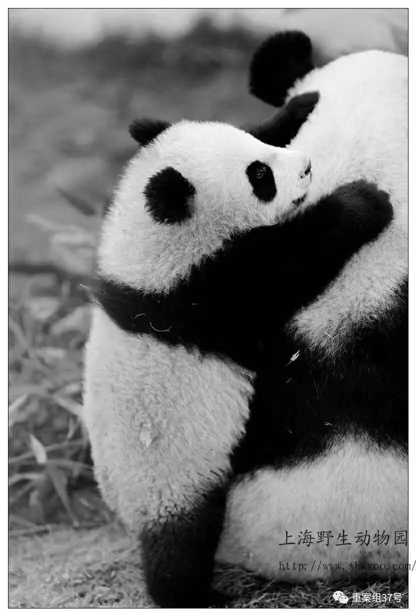 """离世的大熊猫""""母女""""。资料图片"""