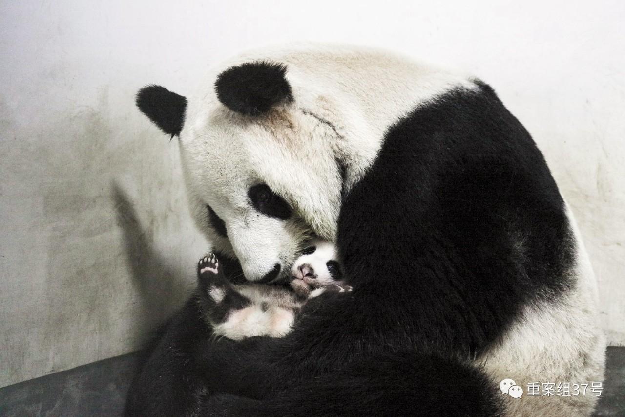 """2016年9月9日,上海,在""""中国大熊猫保护研究中心上海基地""""诞生的首只大熊猫宝宝""""双满月"""",并有了自己的名字""""花生""""。当日,上海野生动物园为大熊猫宝宝举行了""""大熊猫宝宝双满月庆暨名字公布""""仪式。图/视觉中国"""