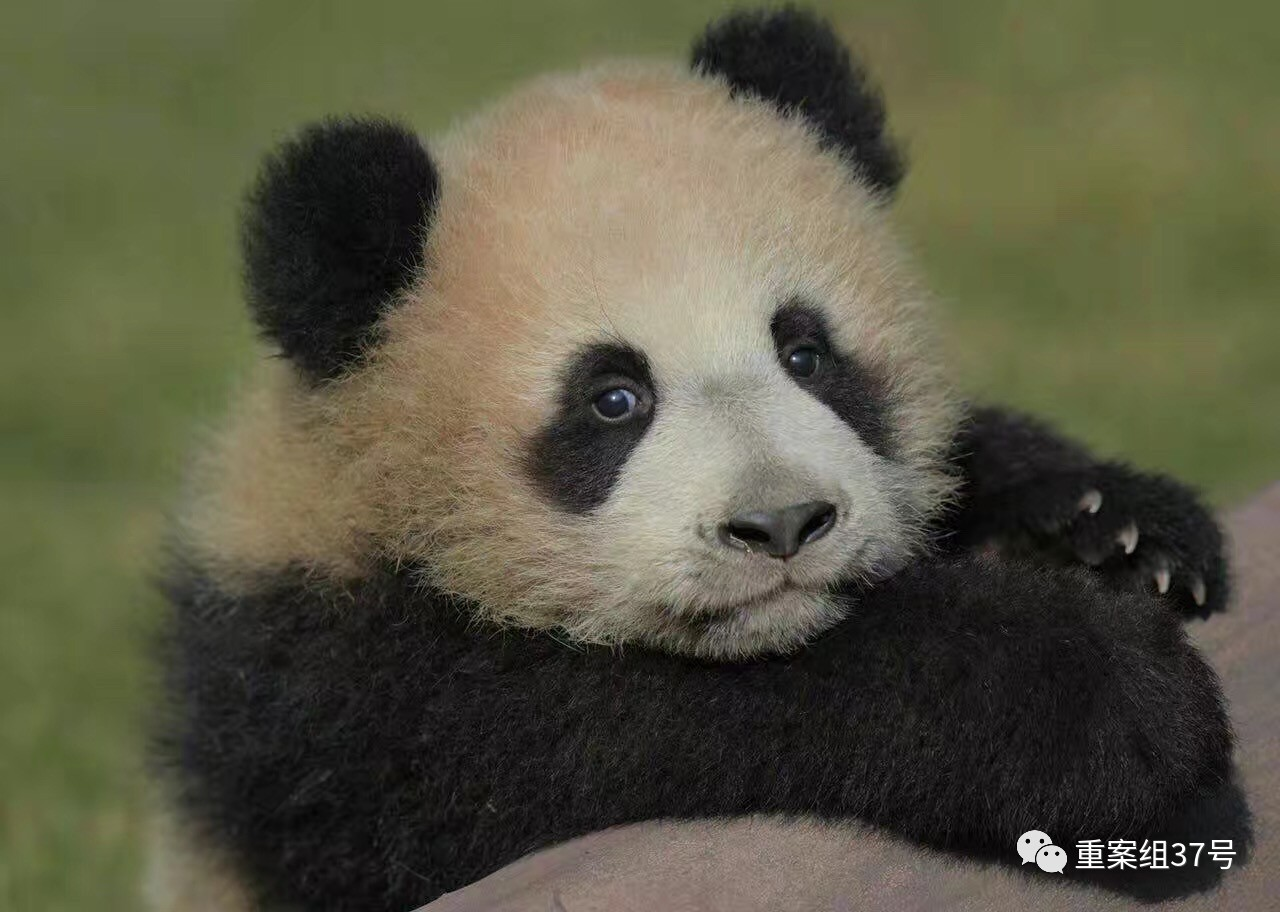 "大熊猫""花生""。资料图片"
