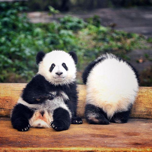 2017年1月22日,重庆动物园6个月大的大熊猫双胞胎在玩耍.(雅虎图片)