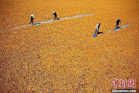 农业部:今年调减籽粒玉米面积1000万亩 改种大豆等