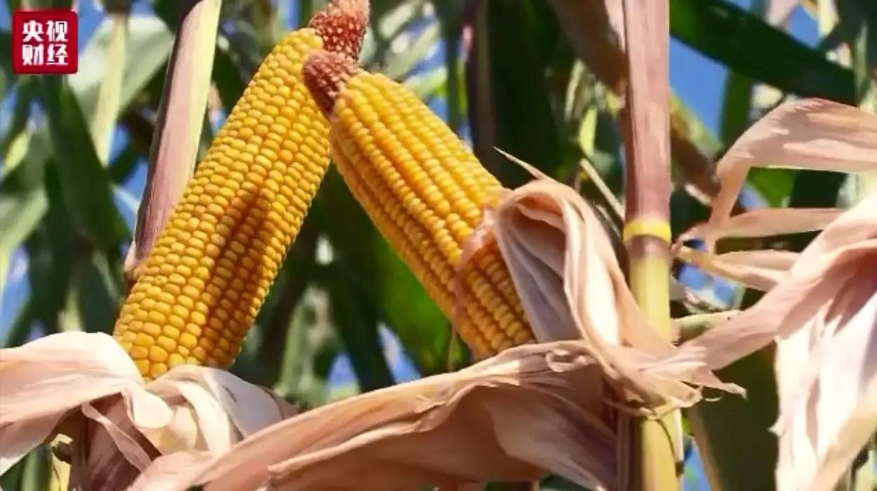 【智农生物-发酵饲料】玉米收储制度改革
