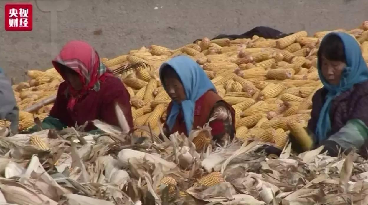 【智农生物-发酵饲料】玉米库存,远超需求
