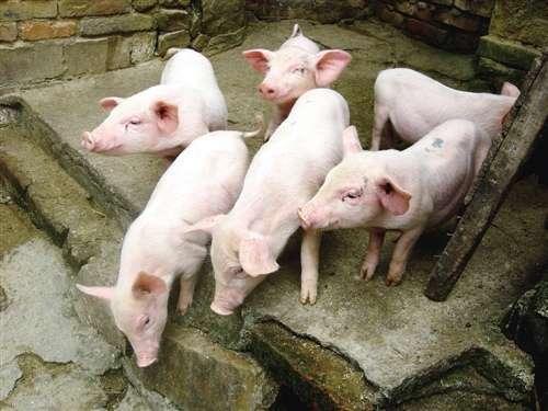 一个农民养猪的致富样本:家庭年入四十万