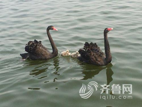 泰山天鹅湖黑天鹅 娃娃 被盗 天鹅夫妇绝食三天图片