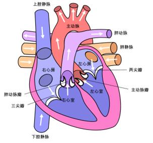 2017年6月7日/生物谷bioon/---心脏病仍然是全世界的一个主要的死亡