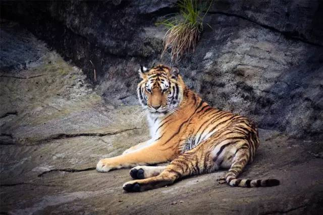 老虎屁股摸不得? 安徽村庄养300多只老虎