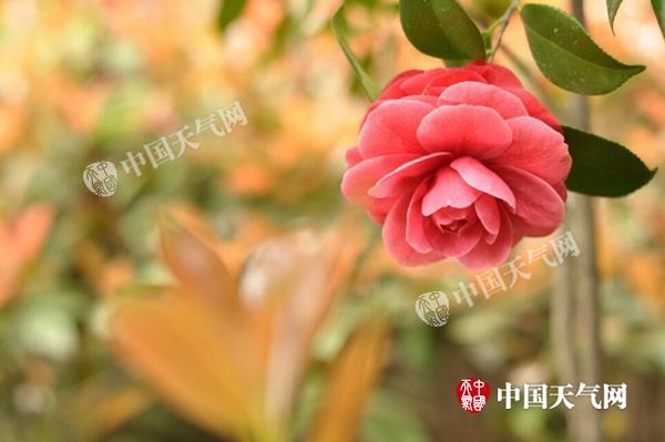 2月14日,江西北昌暖和如秋,茶花衰开。(施洛洛 摄)