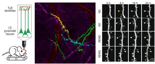 小鼠大脑结构解剖图