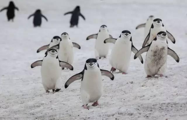▲老极在南极拍下的企鹅。