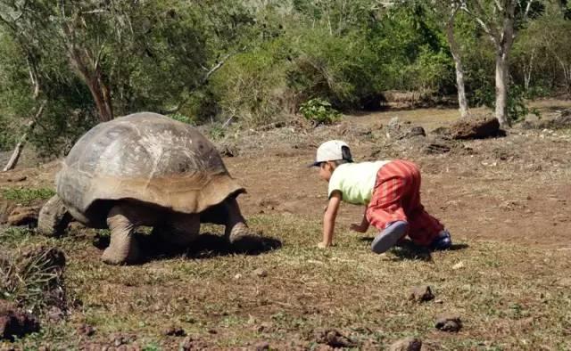 ▲厄瓜多尔加拉帕戈斯群岛,辛巴与象龟玩耍。