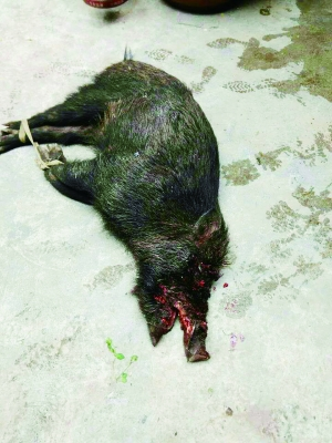 被老汉杀死的野猪