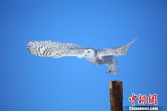 小憩过后,雪鸮张开翅膀翱翔于蓝天之中。 刘是何 摄
