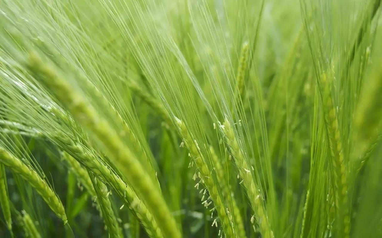 麦穗包子包法步骤图解