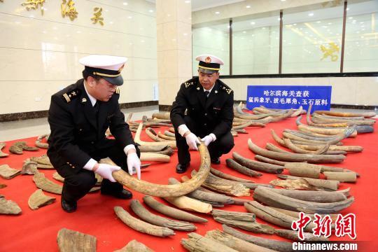此次系中国海关近年来一次性查获的猛犸象牙、披毛犀角数量最多的一起案件。 骞壮 摄
