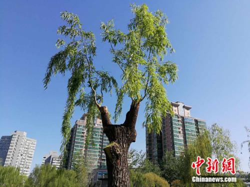 北京市柳荫公园内被嫁接过的柳树。 中新网记者 张尼 摄