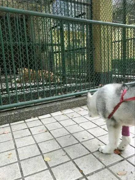 二哈在动物园遇到狼,一脸懵逼......